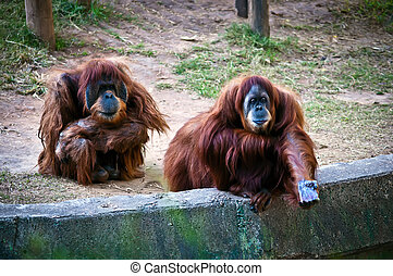 Orangutans . - Family orangutans. Female with outstretched...