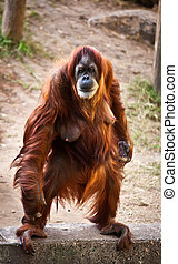 Orangutan - Portrait of an adult female orangutan standing...