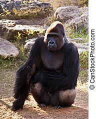 Gorilla . - Western Lowland Gorilla  .