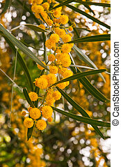 Mimosa blossoms - Twig with fluffy blooming mimosa flowers...