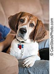 Beagle Dog on the Couch - Cute beagle dog looking at the...