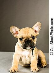 french bulldog puppy - Six week old French bulldog puppy,...