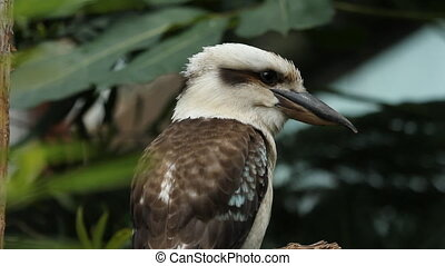 Kookaburra. - Kookaburra perched on a branch. Shallow depth...