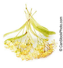linden - Branch of linden flowers isolated on white...