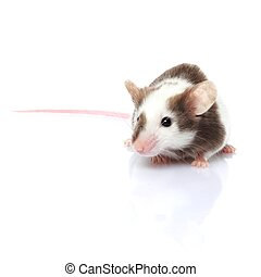 mouse isolated - little gray and white mouse isolated on...