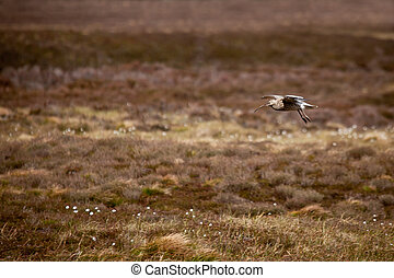 Eurasian Curlew (numenius arquata)