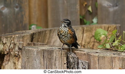Young American Robin. - A young robin perched on a log,...
