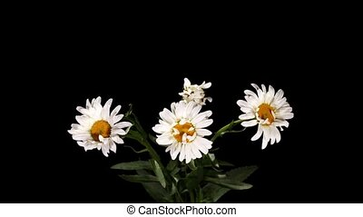 Blooming white daisies