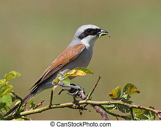 Red Backed Shrike with prey - Red Backed Shrike with green...
