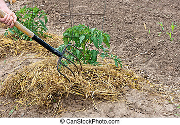 garden fork and straw - mulching tomato plants with straw to...