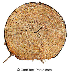 Trunk - Cross section of pine tree