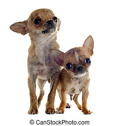 puppies chihuahuas - portrait of cute purebred puppies...