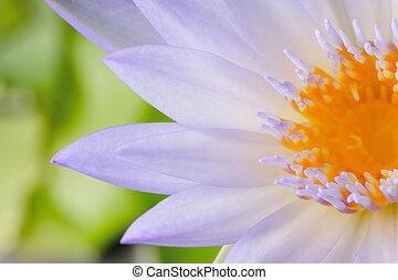 Lotus flower - Closeup of lotus flower