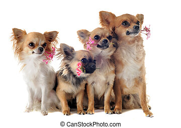 four chihuahuas and flowers - portrait of a cute purebred...
