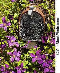 Clematis - Blooming clematis in the garden.