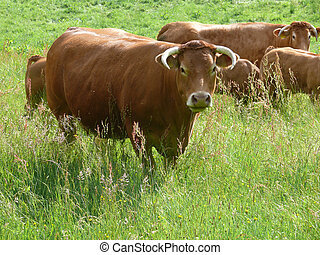 Bull in the pasture
