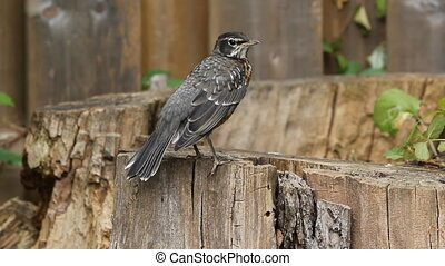Young American Robin - A young robin perched on a log,...