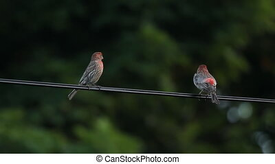 House finches - Two red house finches on a wire Toronto,...