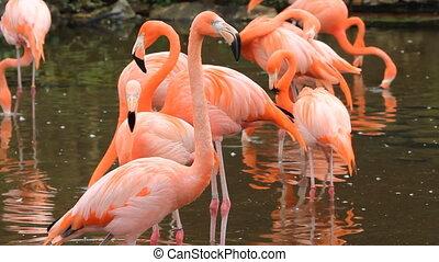 Flamingos. - Pink flamingos in pond. Toronto Zoo, Ontario,...