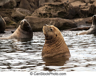 Keeping Cool - A portrait shot of a Steller Sea Lion keeping...