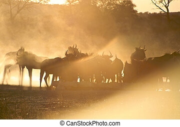 Group of Blue Wilder beasts in the sunset light in kgalagadi...