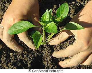 planting pepper seedlings - hands planting pepper seedlings...