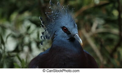 Victoria crowned pigeon. Portrait. Shallow depth of field....