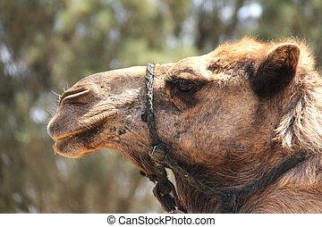 Camel head -  Camel farm. Dromedary. Negev Desert , Israel
