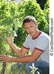 Winegrower in vine rows