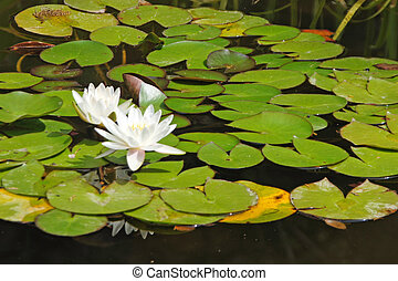water lily - Flowers in a lake