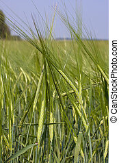 Green wheat field - A background image of green wheat field