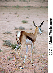 Baby Springbok in the Kalahari desert