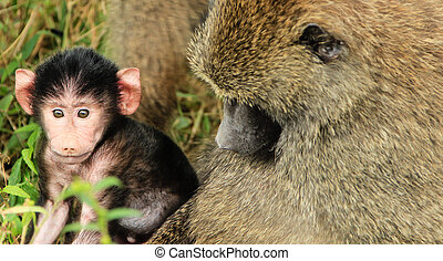 Mother & Baby Baboon - Mother and Baby Baboon in Tanzania...