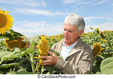 Agronomist analysing sunflowers