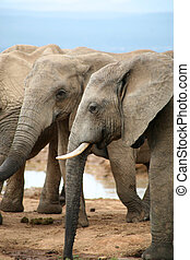 Elephants in Addo Park - Elephants lifestyle in South Africa