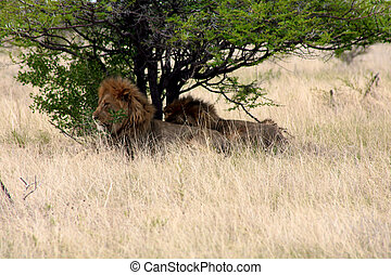 Two lions sleeping in Etosha Park during the hotest part of...