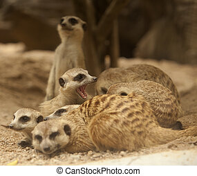 Portrait group of meerkat sit on rock stand with green...