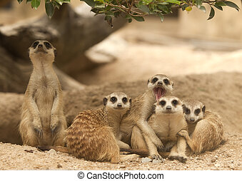 Portrait group of meerkat sit on sand with nature frame