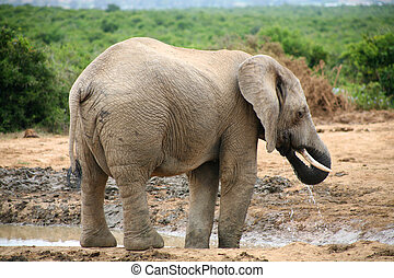 Elephant in Addo Park - Elephant lifestyle in South Africa
