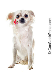 chihuahua and flower - portrait of a cute purebred chihuahua...