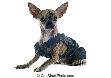 dressed chihuahua - short hair chihuahua dressed in front of...