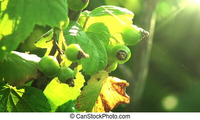 Green berries in sunlight Light breeze HD 1080
