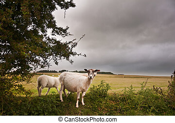Farm sheep in landscape on stormy Summer day