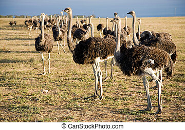 Ostriches in South Africa early in the morning somewhere on...