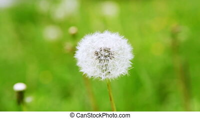 Dandelion in Garden - blowball on a meadow