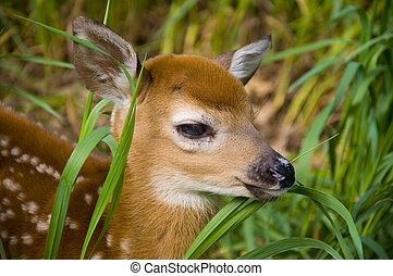Whitetailed Deer - Whitetailed deer fawn looking through...