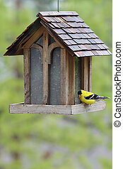 American Gold Finch Feeding - A lone goldfinch in his bright...