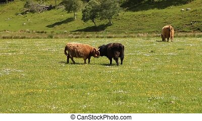 Typical Scottish cows in a field - Tipical Scottish cows in...