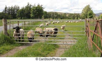 Sheep behind a gate in a field in Scotland