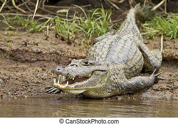 kajman, (Caiman, crocodilus, fuscus)